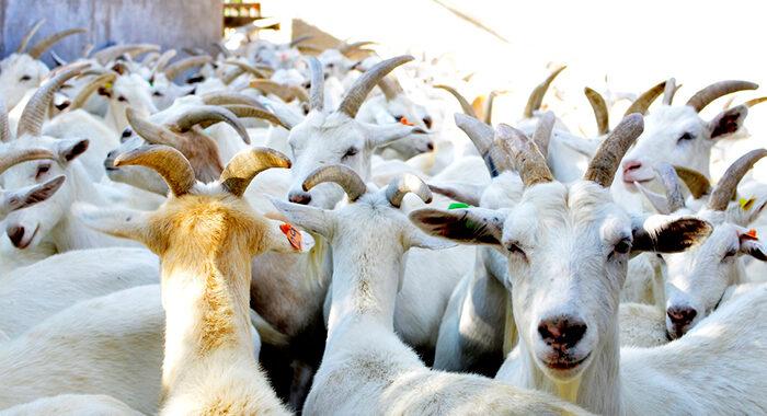 Quesos y Productos derivados de la leche de Cabra