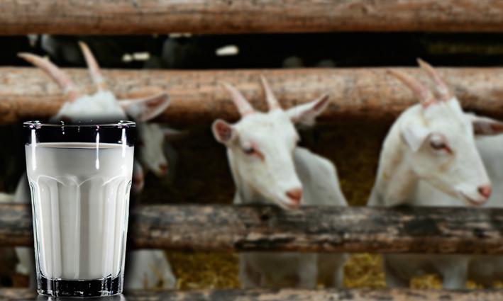Los buenos alimentos de Mendoza: hoy la Leche de Cabra